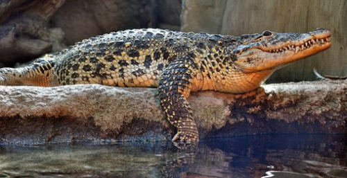Cuban-Croc.jpg