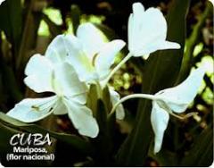 cuba,maripossa,symbole,fleur,papillon blanc